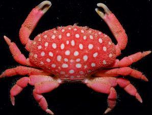 Kepiting stroberi